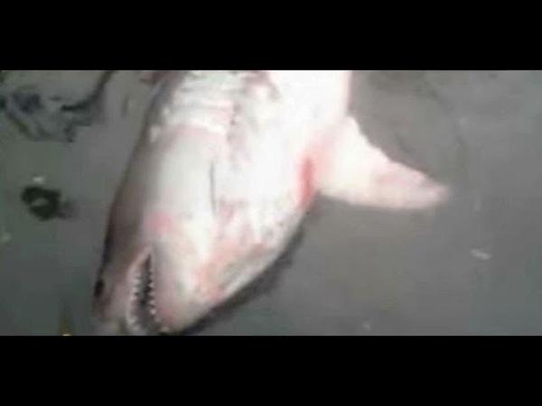 Неожиданный улов в Красноярском крае на Енисее в сети попалась двухметровая акула
