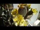 824 Красивенное цветение опунции