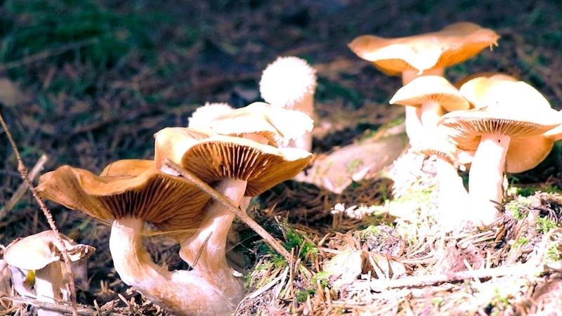 Нашел много грибов под елками и что сними делать? Срезать или выкручивать