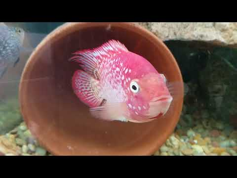 Super red texas cichlid 'torch' pairing up