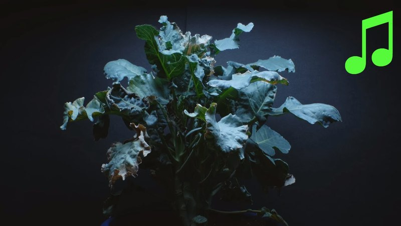 Time Lapse of Brassica Plant Growing from Seed and Wilting During Droughts
