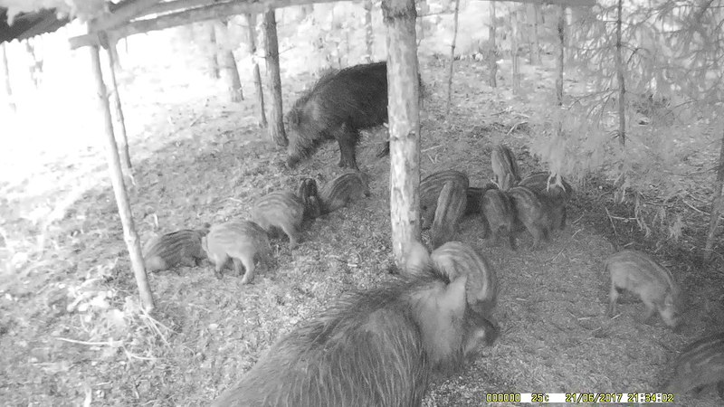 Семейство кабанов на подкормочной площадке охотничьего хозяйства ПО УЗМВ Волжанка