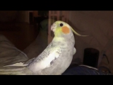 Попугай исполняет мелодию из айфона, когда расстраивается. Обычно это происходит