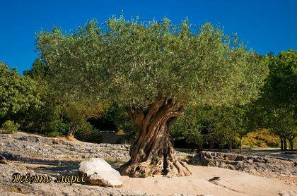 Легенды об оливе (оливке или маслине) H8YRq7QzkJI