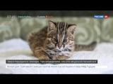 Жители Приморья спасли котенка амурского лесного кота, приняв его за обычную кошку
