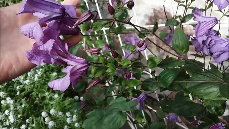 Клематисы. Какие сорта самые обильно цветущие 3 условие обильного цветения..mp4
