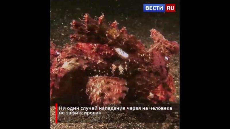 Червь Боббита - один из самых странных обитателей морского дна.