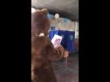 Медведь пошел на выборы