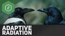 Adaptive Radiation - Evolutionsfaktoren 7