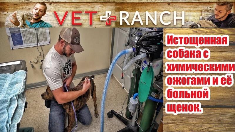 Vet Ranch на русском - Истощённая собака с химическими ожогами и её больной щенок This Was a Hard On