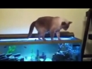 Смешные падения кошек )