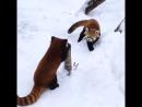 Китайские забавы. Красные панды играют на снегу