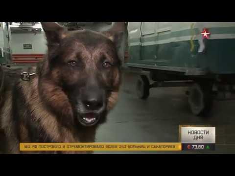 Немецкая овчарка заступает на службу в российскую таможню