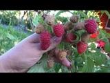 Каскад Делайт, летний сорт малины с очень сладкой ягодой.