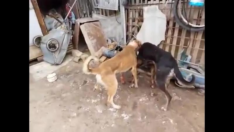 Бой собака