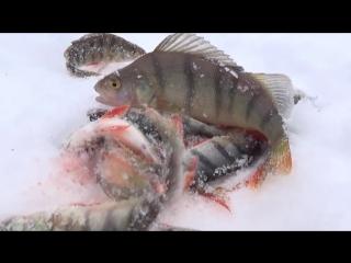 ВОТ ЭТО КОНИ ! Малёк Зуева или блесна с подвеской-светофором Зимняя рыбалка в ма