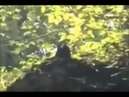 BIGFOOT watching swimmers from cliff ledge in Russia [SIGHTING] - on COAST TO COAST AM
