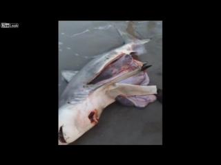 Мужчина разрезал живот мертвой беременной акулы и как вы думаете что он нашел внутри?