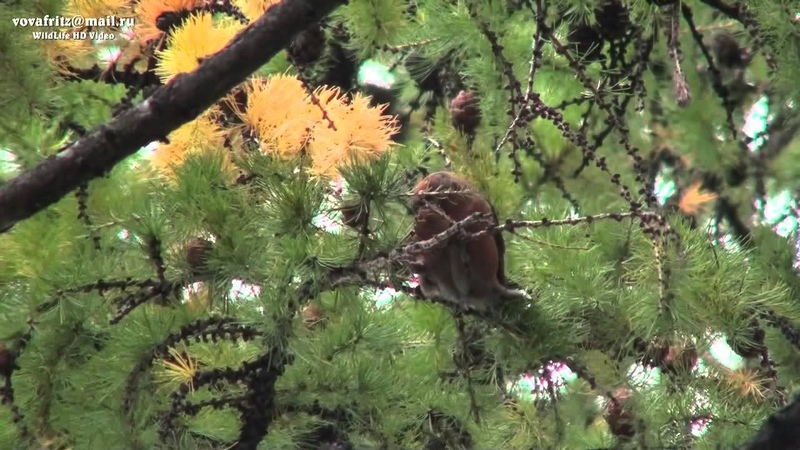 Loxia curvirostra Red Crossbill, клёст еловик Moscow
