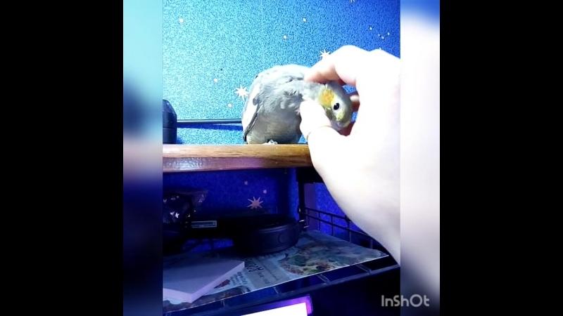 Ручной птенчик корелл сидит на столе и помогает мне работать)