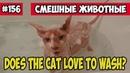 Любит ли кот мыться. Смешные животные, подборка 156.