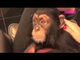 Шимпанзе просит, чтобы его погладили