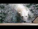 Meet Aurora, Seneca Park Zoo's Polar Bear