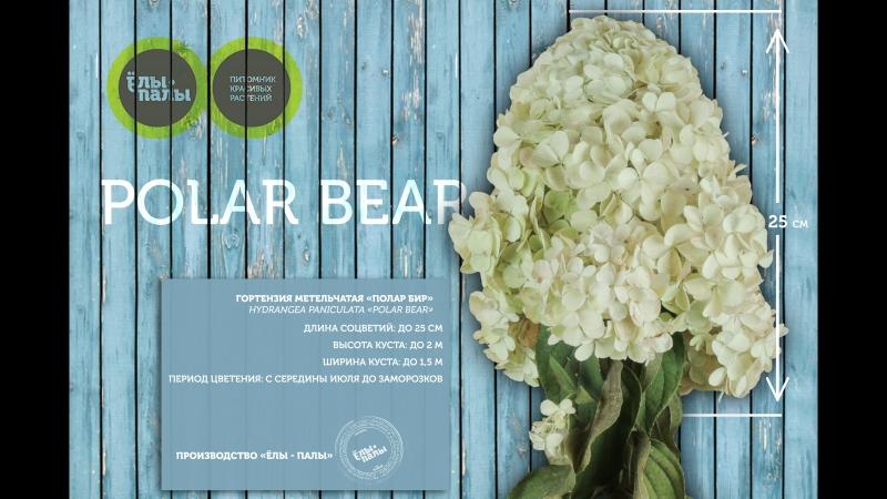 Гортензия метельчатая `Polar Bear` 🌸
