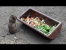 Так ест Чернохвостая луговая собачка