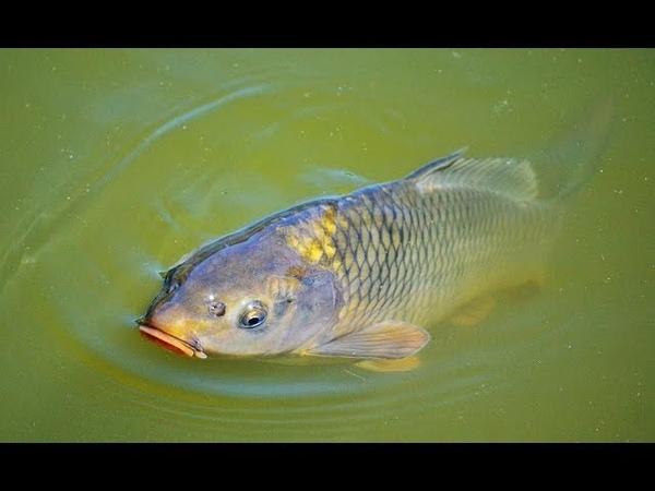 Sazan Balığı Ne zaman Nerede ve Nasıl Yakalanır