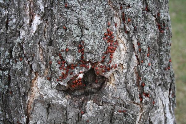 Клопы-солдатики в естественной среде обитания — на солнечной стороне дерева недалеко от земли.