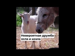 Невероятная дружба осла и козла