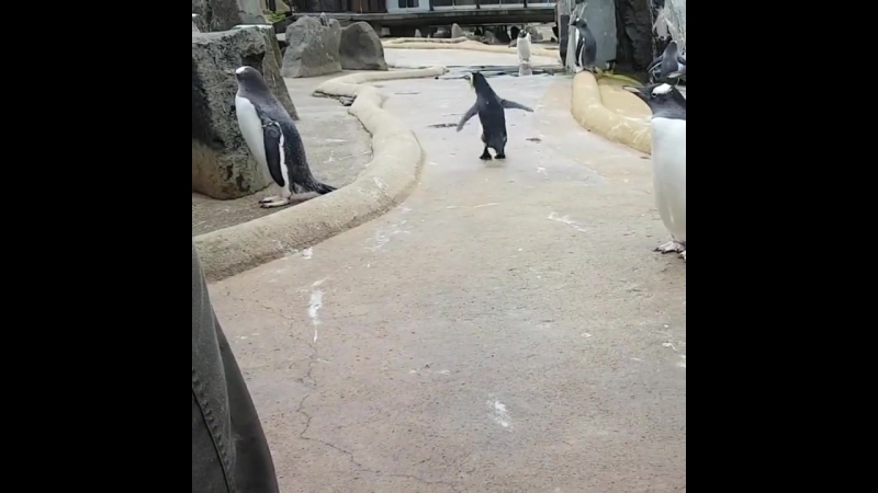 Хохлатый пингвин из Эдинбургского зоопарка