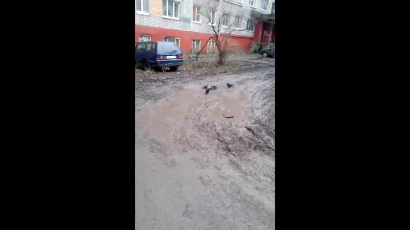 Ничего особенного. Просто голуби купаются в грязи... 1 января 2018 года. Липецк.