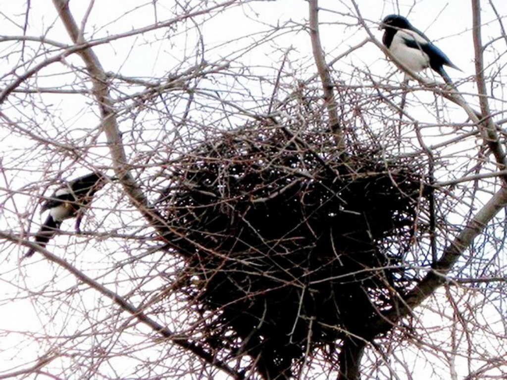 Гнездо сороки картинки для детей
