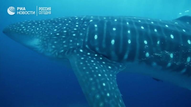 Китовые акулы на Галапагосских островах l Whale sharks in the Galapagos Islands