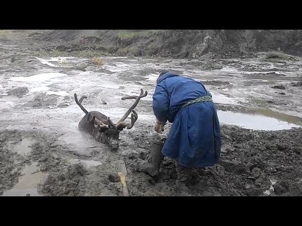 В сети появилось видео спасения ямальского оленя застрявшего в трясине