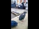 Жестокое нападение сурового челябинского голубя на человека.