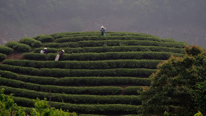 Tea Harvest (Timelaps)