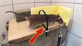 Como Cazar Ratas Vivas NIVEL MINECRAFT 2017 HUNTING RATS GOD LEVEL