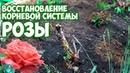 Восстановление корней розы 🌹 Мастер класс 🌹 Полезные советы про цветы