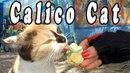 Calico Cat and Ice Cream 🐱