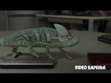 Хамелеон меняет цвета (VIDEO ВАРЕНЬЕ)