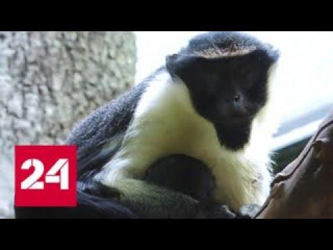 В Московском зоопарке родился первый за 15 лет детеныш мартышки дианы - Россия 24