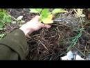 Выращивание картофеля под травой в Ленобласти. Катерина Поплутина.Часть 2.(фотографии прилагаются в моем профиле)