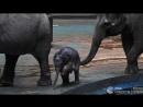 Слоненок Филимон из Московского зоопарка