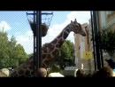 Московский зоопарк жирафик