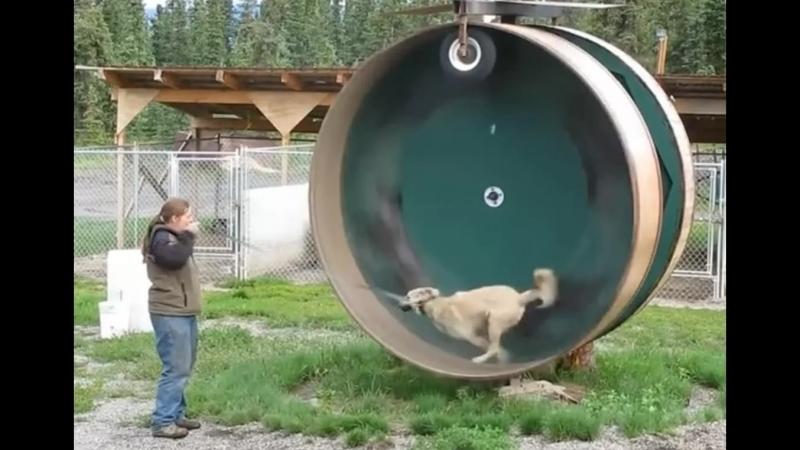 Как белка в колесе только собака XD