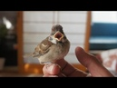 Ep1 保護したスズメの成長記録・1 ~旅立ちの準備まで~The diary which raised a sparrow