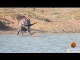 Бегемоты помогли антилопе гну вырваться из пасти крокодила.